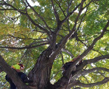 Émondage d'arbre
